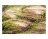 Wild Rye Photographic Print by Joel Stuthman