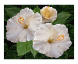 White Hibiscus - Dreamy Blooms Photographic Print by Ben & Raisa Gertsberg