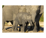 Elephants at Salt Lick Photographic Print by Mark Levy
