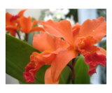 Orange Orchid Photographic Print by Brandon Moore