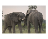 Elephant Bulls Fighting Photographic Print by Mark Levy