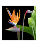 Bird of Paradise - Royal Beauty II Photographic Print by Ben &amp; Raisa Gertsberg