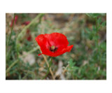 Poppy Photographic Print by Mark Banks-golub