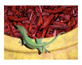 Anole Getting A Better Look Photographic Print by Lucyna A M Green