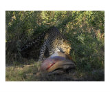 Leopard Dragging Carcass Photographic Print by Mark Levy