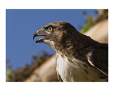 Hawk Profile Photographic Print by Jak Wonderly