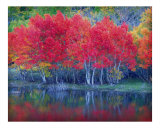 Grant Lake Aspens Photographic Print by Auralee Dallas
