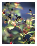 Forest Berries Photographic Print by Jeanne Apelseth