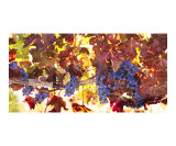 Autumn Vines Photographic Print by Richard Duval