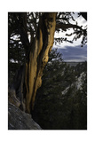 Ancient Bristlecone Pine, White Mountain, CA Photographic Print by Steve Gadomski