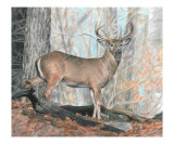 Whitetail Buck Giclee Print by Carla Kurt