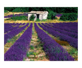 Stone Shed in a Lavender Field Photographic Print by Yvonne Mestre