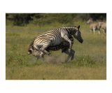 Zebra fighting Photographic Print by Mark Levy
