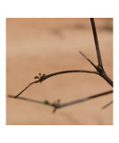 Terminalia Tree - New Leaf Shoots Photographic Print by Dezine Zone