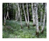Wild Flowers and Birch Trees Photographic Print by Peggy Warner
