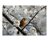 Cherry Blossom Bird Photographic Print by William Luo