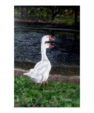 White Geese at Dusk Giclee Print by Leandria Goodman