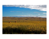 Bales Amongst The Sunflowers Photographic Print by Alexis Swendener