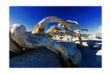 Fallen Pine Tree on Sentinel Dome Photographic Print by George Oze