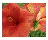 Red Hibiscus Photographic Print by Ben & Raisa Gertsberg