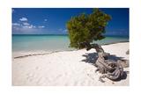 Eagle Beach with a Fofoti Divi Tree Aruba Photographie par George Oze