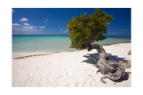 Eagle Beach with a Fofoti Divi Tree Aruba Photographic Print by George Oze