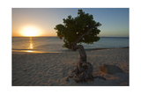 Fofoti Divi Tree at Sunset Aruba Photographic Print by George Oze