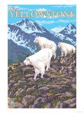 Mountain Goats Scene, West Yellowstone, Montana Prints