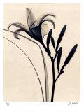 Daylily Print by Judith Mcmillan