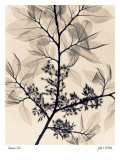American Elm Prints by Judith Mcmillan