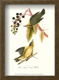 Warbler Posters by John James Audubon