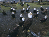 Bald Eagle (Haliaetus Leucocephalus) in February, Homer Spit, Alaska, USA Photographic Print by David Tipling