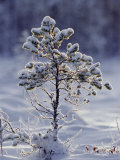 Young Scots Pine Covered in Snow in Winter, Abernethy, Strathspey, Scotland, UK, Europe Photographic Print by David Tipling
