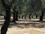 Olive Grove, Puglia, Italy, Europe Fotografisk tryk af Oliviero Olivieri