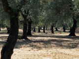 Olive Grove, Puglia, Italy, Europe Photographic Print by Oliviero Olivieri