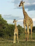 Adult and Young Giraffe Etosha National Park, Namibia, Africa Photographic Print by Ann &amp; Steve Toon