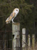 Barn Owl (Tyto Alba), Captive, United Kingdom, Europe Photographic Print by Ann & Steve Toon