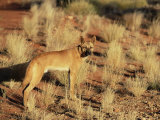 Dingo, Canis Familiaris Dingo, Red Centre, Northern Territory, Australia, Pacific Photographic Print by Ann & Steve Toon