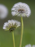 Dandelion Seedheads (Taraxacum Officinale), Cumbria, England, United Kingdom, Europe Photographic Print by Ann & Steve Toon