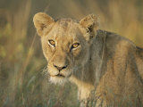 Lioness, Panthera Leo, Kruger National Park, South Africa, Africa Photographic Print by Ann & Steve Toon