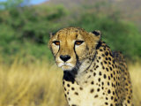 Cheetah, Namibia, Africa Photographic Print by David Tipling