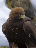 Golden Eagle (Aquila Chrysaetos), in Snow, Captive, United Kingdom, Europe Photographic Print by Ann & Steve Toon