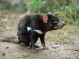 Tasmanian Devil, Sarcophilus Harrisii, in Captivity, Australia, Pacific Photographic Print by Ann & Steve Toon