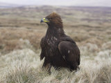 Captive Golden Eagle (Aquila Chrysaetos) on Moorland, United Kingdom, Europe Photographic Print by Ann & Steve Toon