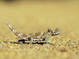 Thorny Devil, Moloch Horridus, Kalbarri National Park, Western Australia, Australia, Pacific Photographic Print by Ann & Steve Toon