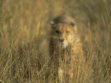 Cheetah Stalking, Namibia, Africa Photographic Print by David Tipling