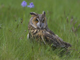 Long-Eared Owl (Asio Otus), Muncaster, Cumbria, England, United Kingdom, Europe Photographic Print by Ann & Steve Toon
