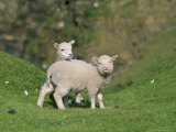 Two Lambs in June, Shetland Islands, Scotland, UK, Europe Photographic Print by David Tipling
