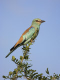 European Roller (Coracias Garrulus), Kruger National Park, South Africa, Africa Photographic Print by Ann & Steve Toon