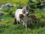 Two Shetland Ponies, Shetland Islands, Scotland, UK, Europe Photographie par David Tipling